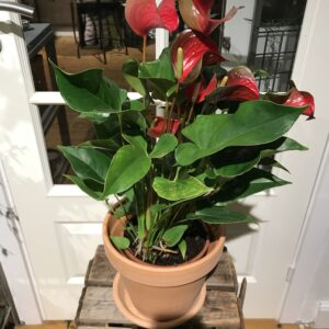 Anthurium potte plante